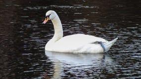 Cisne blanco Imagenes de archivo