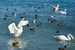 Cisne blanco agraciado Imagenes de archivo