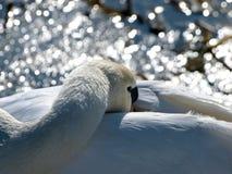 Cisne blanco cerca del río en invierno imagenes de archivo