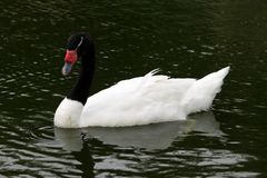 Cisne blanco con el cuello negro Fotografía de archivo libre de regalías