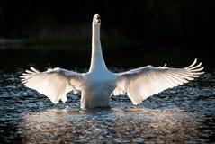 Cisne blanco con las alas Outstretched Imagen de archivo