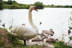 Cisne blanco con los cisnes en la orilla Foto de archivo
