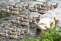 Cisne blanco con los pollos del cisne Foto de archivo libre de regalías