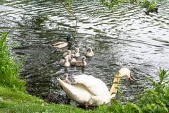 Cisne blanco con los pollos del cisne Imagen de archivo libre de regalías
