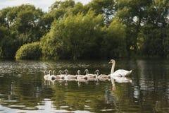 Cisne blanco con los polluelos foto de archivo