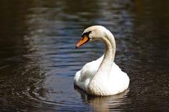 Cisne blanco curioso en su piscina fotos de archivo
