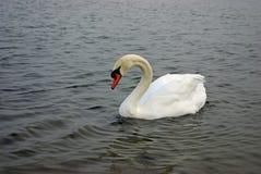 Cisne blanco en agua Imágenes de archivo libres de regalías