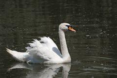 Cisne blanco en el agua Foto de archivo libre de regalías