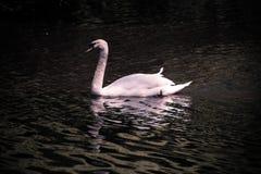 Cisne blanco en el iris en el lago y Iris Gardens swan Foto de archivo