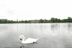 Cisne blanco en el jardín Londres Reino Unido de Kensington de la charca Imagenes de archivo