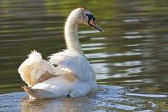 Cisne blanco en el lago imagen de archivo