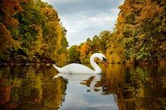 Cisne blanco en el lago Foto de archivo