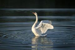 Cisne blanco en el lago Imagenes de archivo