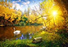 Cisne blanco en el lago imagen de archivo libre de regalías
