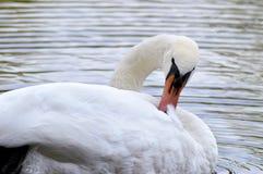 Cisne blanco en el lago Fotografía de archivo libre de regalías