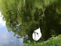 Cisne blanco en el lago Foto de archivo libre de regalías