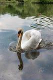 Cisne blanco en el lago Fotos de archivo