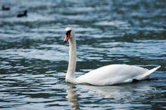 Cisne blanco en el lago con agua azul imagenes de archivo