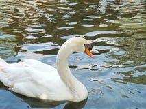 Cisne blanco en el lago de niebla Fotografía de archivo libre de regalías