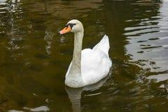 Cisne blanco en el lago Luces de la mañana Foto de archivo