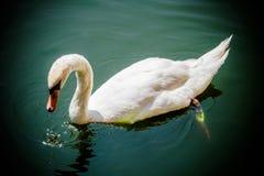 Cisne blanco en el lago verde Foto de archivo