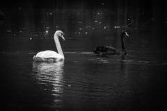 Cisne blanco en el lago y Iris Gardens swan Fotos de archivo