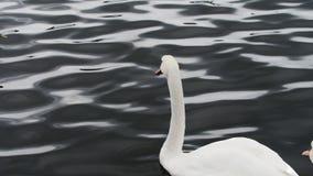 Cisne blanco en el océano de mirada oscuro almacen de metraje de vídeo