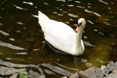Cisne blanco en el parque Foto de archivo libre de regalías
