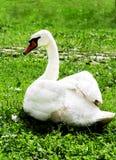 Cisne blanco en el primer de la hierba verde foto de archivo