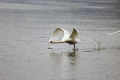 Cisne blanco en el río Fotografía de archivo