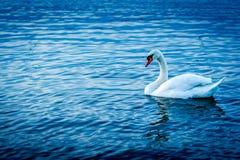 Cisne blanco en el río, tiro del lado Foto de archivo