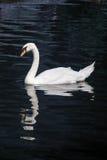 Cisne blanco en la charca azul Imágenes de archivo libres de regalías