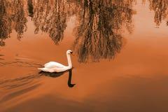 Cisne blanco en la charca en la puesta del sol imagenes de archivo