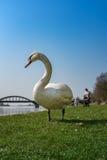 Cisne blanco en la hierba verde Imagen de archivo