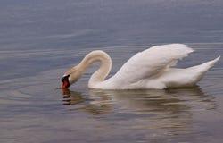 Cisne blanco en superficie del agua. Imagen de archivo libre de regalías