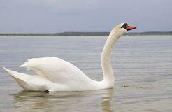 Cisne blanco en superficie del agua. Foto de archivo
