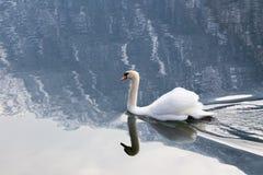 Cisne blanco en un lago Fotos de archivo