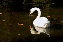 Cisne blanco en un lago, teplice de Rajecke, Eslovaquia Foto de archivo
