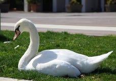 Cisne blanco en una hierba imagen de archivo