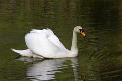 Cisne blanco grande Fotos de archivo