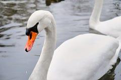 Cisne blanco hermoso fotos de archivo