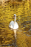 Cisne blanco hermoso Foto de archivo