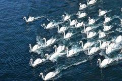 Cisne blanco hermoso Imagen de archivo