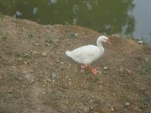 Cisne blanco lindo Fotografía de archivo