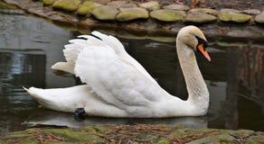 Cisne blanco mudo que flota en un lago Foto de archivo