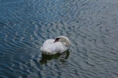 Cisne blanco que balancea en las ondas Imágenes de archivo libres de regalías