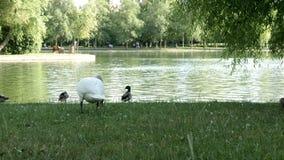 Cisne blanco que camina lentamente al río almacen de metraje de vídeo