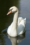 ¡Cisne blanco que le mira! Foto de archivo