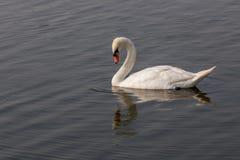 Cisne blanco que mira abajo al agua Imagenes de archivo