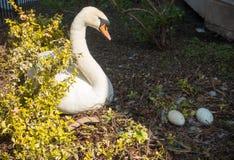 Cisne blanco que mira sus huevos Imagen de archivo libre de regalías